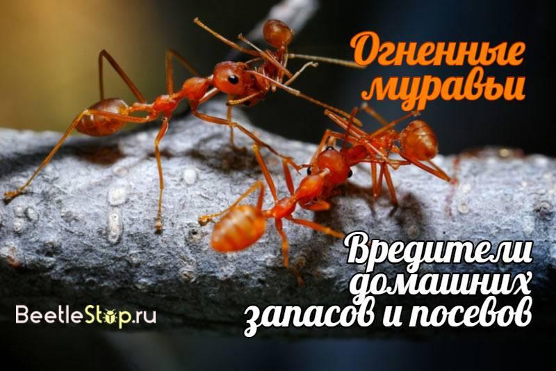 Красные муравьи: что это за вредители и как от них избавиться