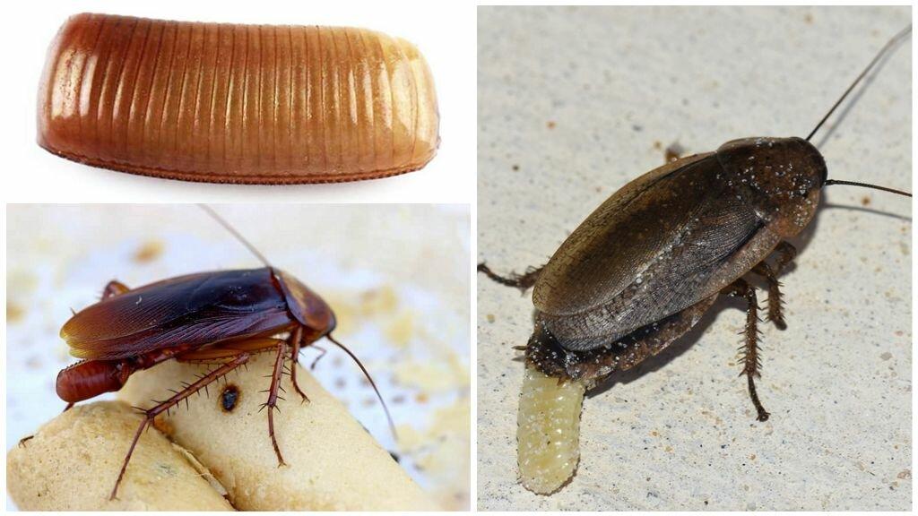 Сколько тараканов выводится из одного яйца