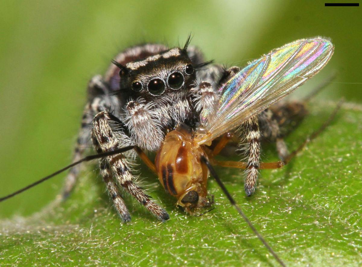 Паук-скакун или паук-вампир