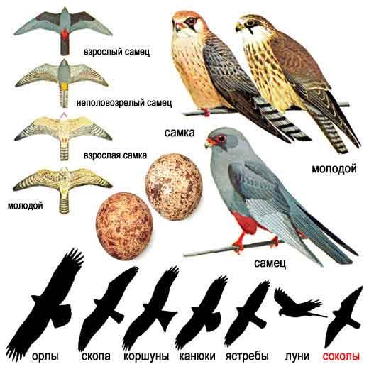 Дикобраз – описание, виды, чем питается, где живет, фото и видео  - «как и почему»