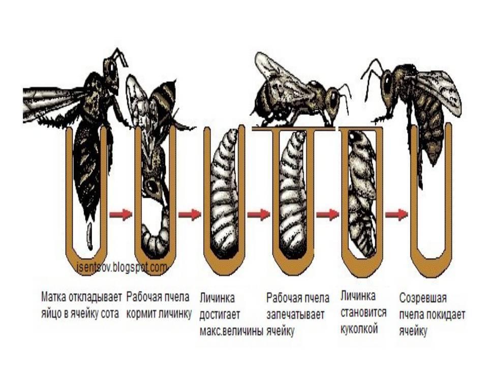 Способы размножения пчел: естественное и искусственное,сроки, сколько дней выводится пчела