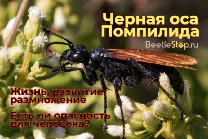 Оса роющая: различные виды и особенности размножения. кто такие роющие осы?