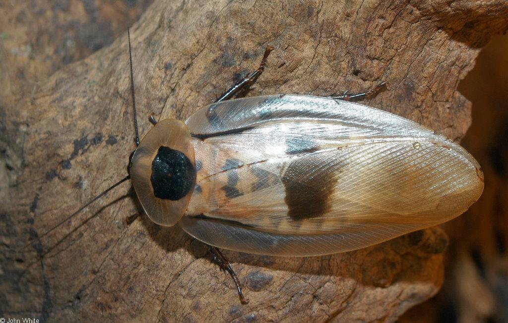 Могут ли летать домашние тараканы?