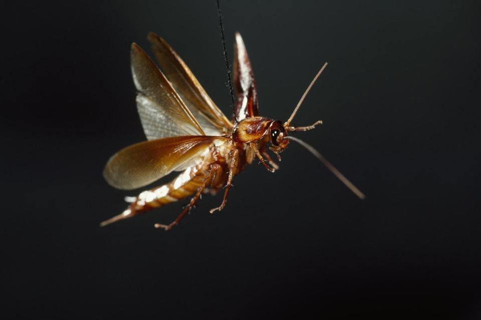 Летающие тараканы - правда или миф: есть ли у них крылья, умеют ли летать, фото русский фермер