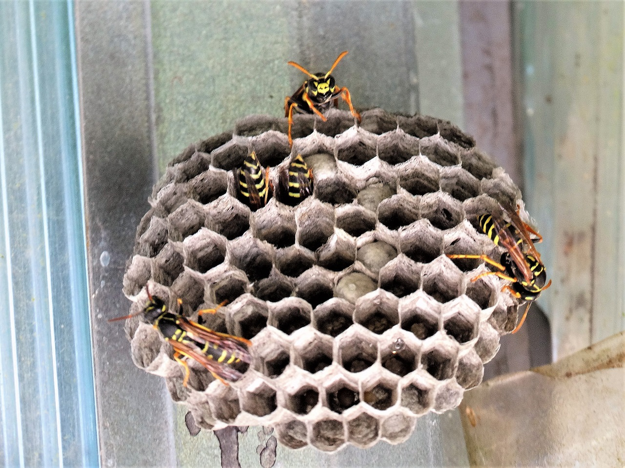 Как отличить осиное гнездо от пчелиного. чем отличается пчела от осы. итальянская порода: фото
