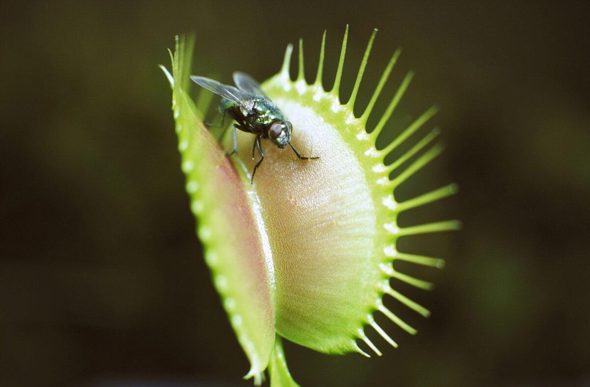 Цветок, который ест мух (дионеия): как сажать, ухаживать и комнатное содержание растения