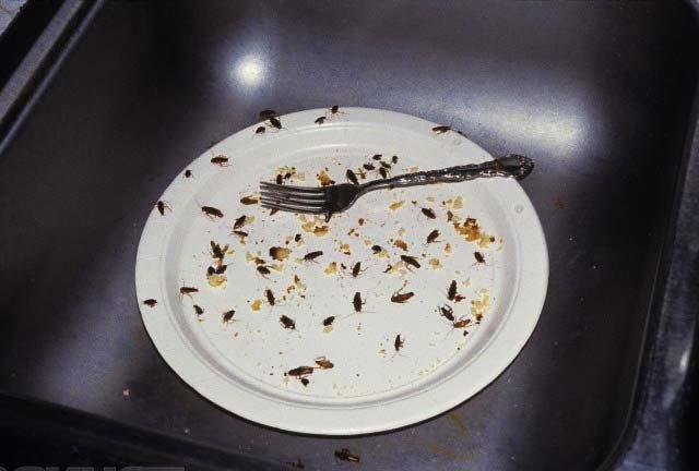 Можно ли есть тараканов, жареные съедобные тараканы, в каких странах едят, как приготовить в домашних условиях