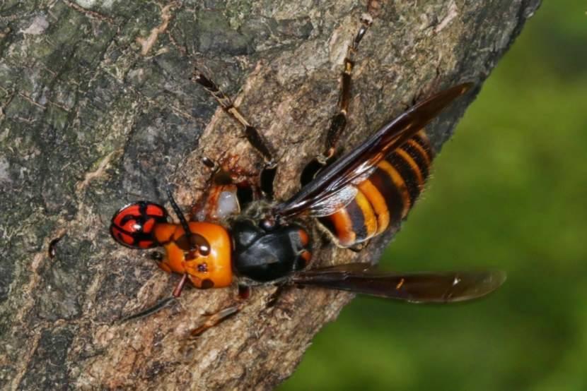 Дикие осы — как вывести и уничтожить их улей?
