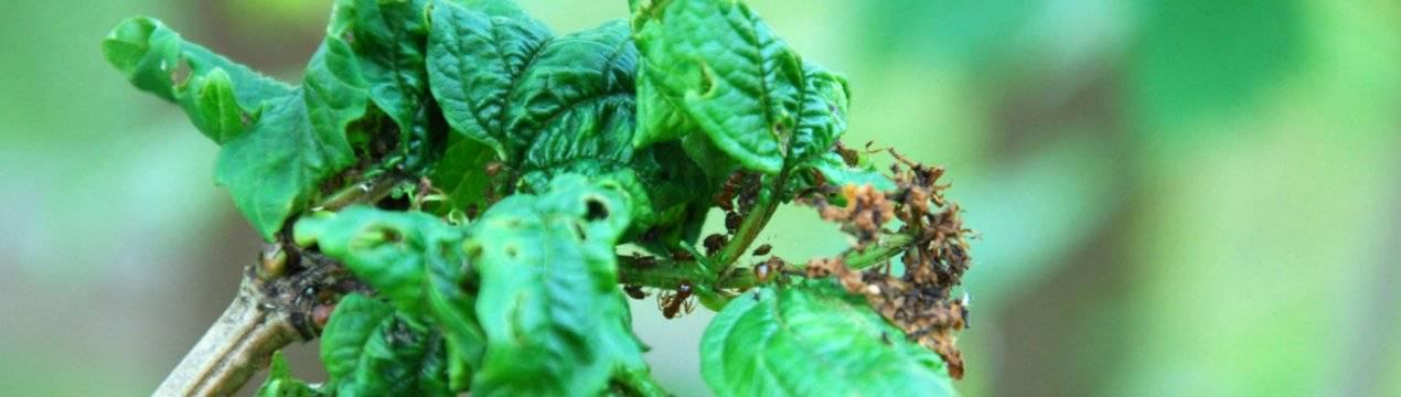 Чем обработать калину от тли и вредителей весной