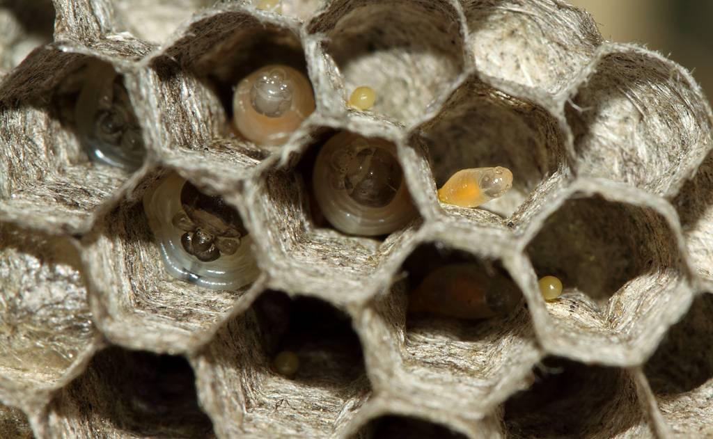 Приметы про ос и их гнезда