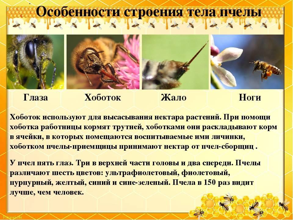 Медоносная пчела: биология, развитие, строение, классификация и видео