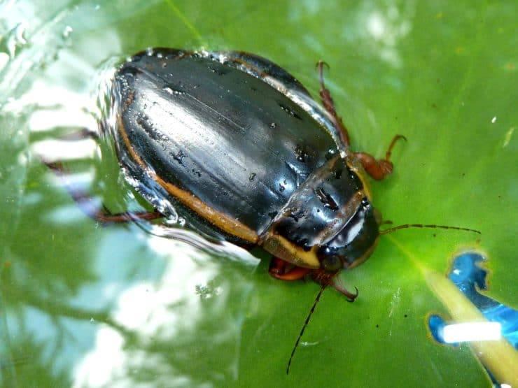 Плавунец жук насекомое. описание, особенности, виды, образ жизни и среда обитания плавунца | живность.ру