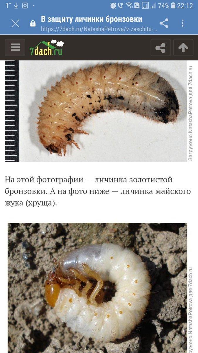 Как отличить личинки медведки и майского жука: рассказываем обстоятельно