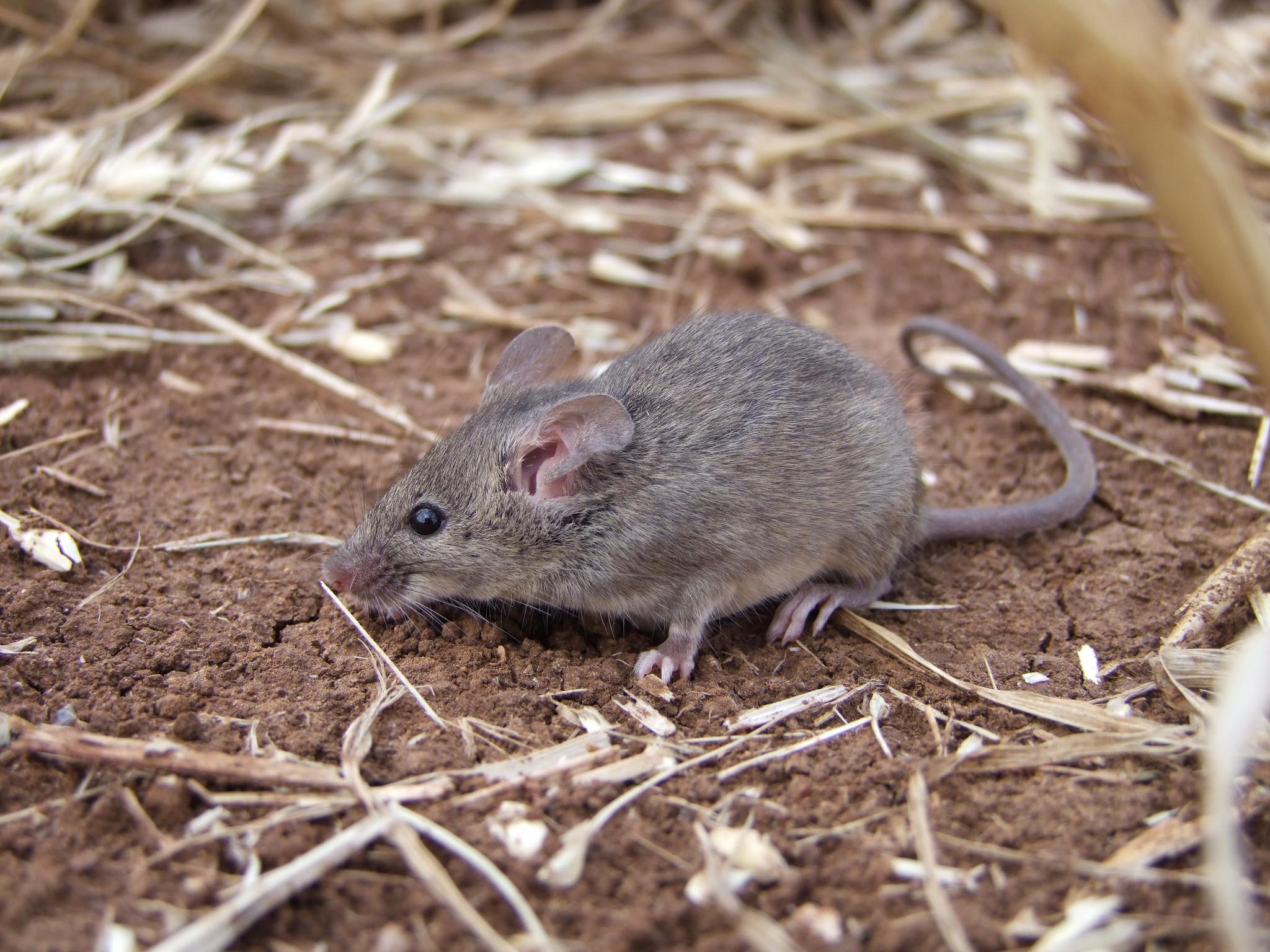 Домовая мышь — википедия. что такое домовая мышь