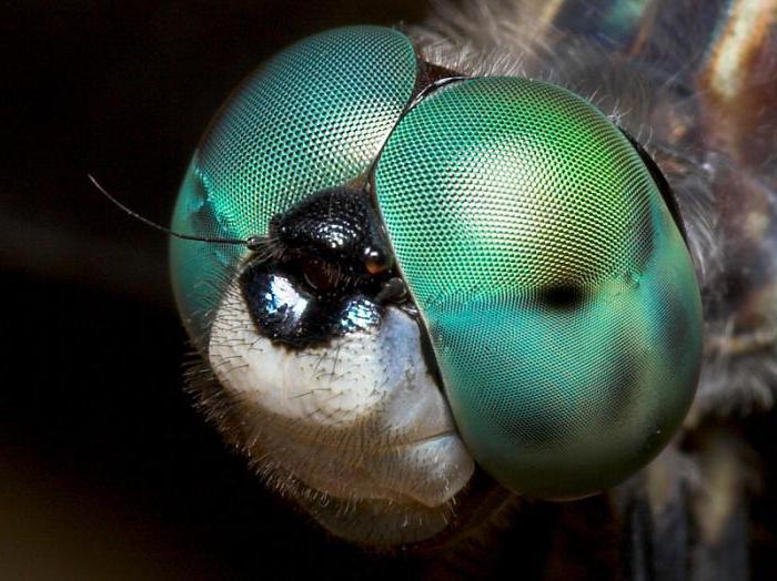 Насекомое стрекоза: особенности образа жизни насекомого-хищника