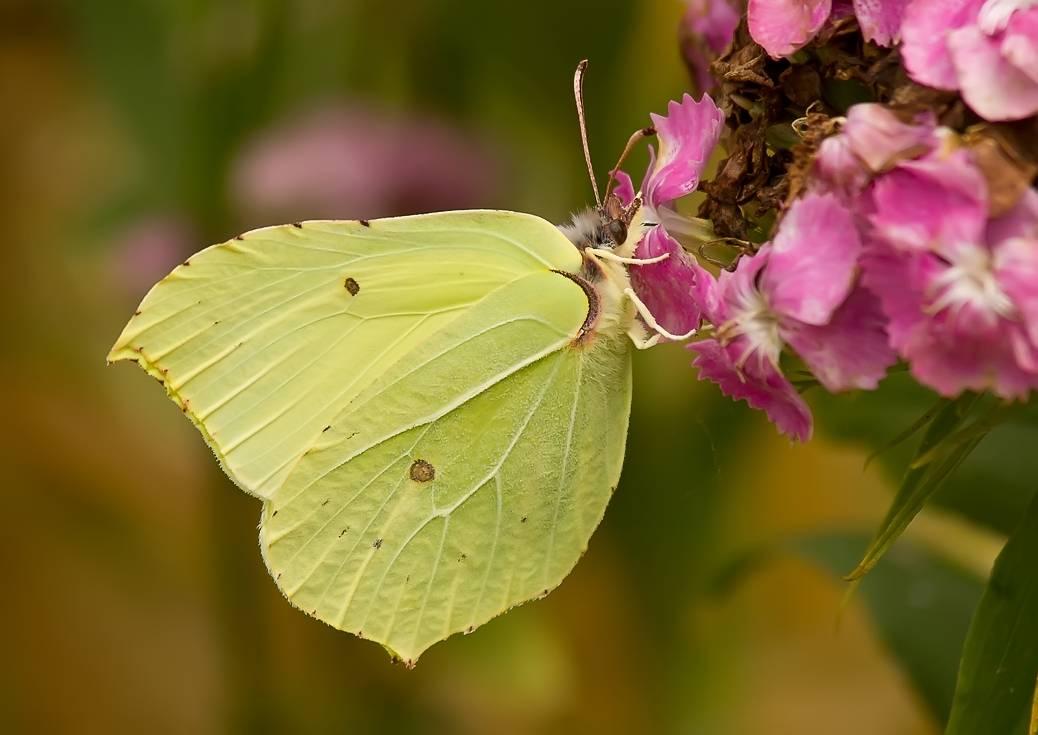 Бабочка лимонница: особенности жизненного цикла имаго и гусениц