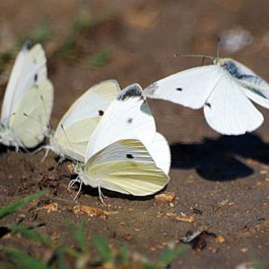 Капустница: описание, эффективные методы борьбы с бабочкой