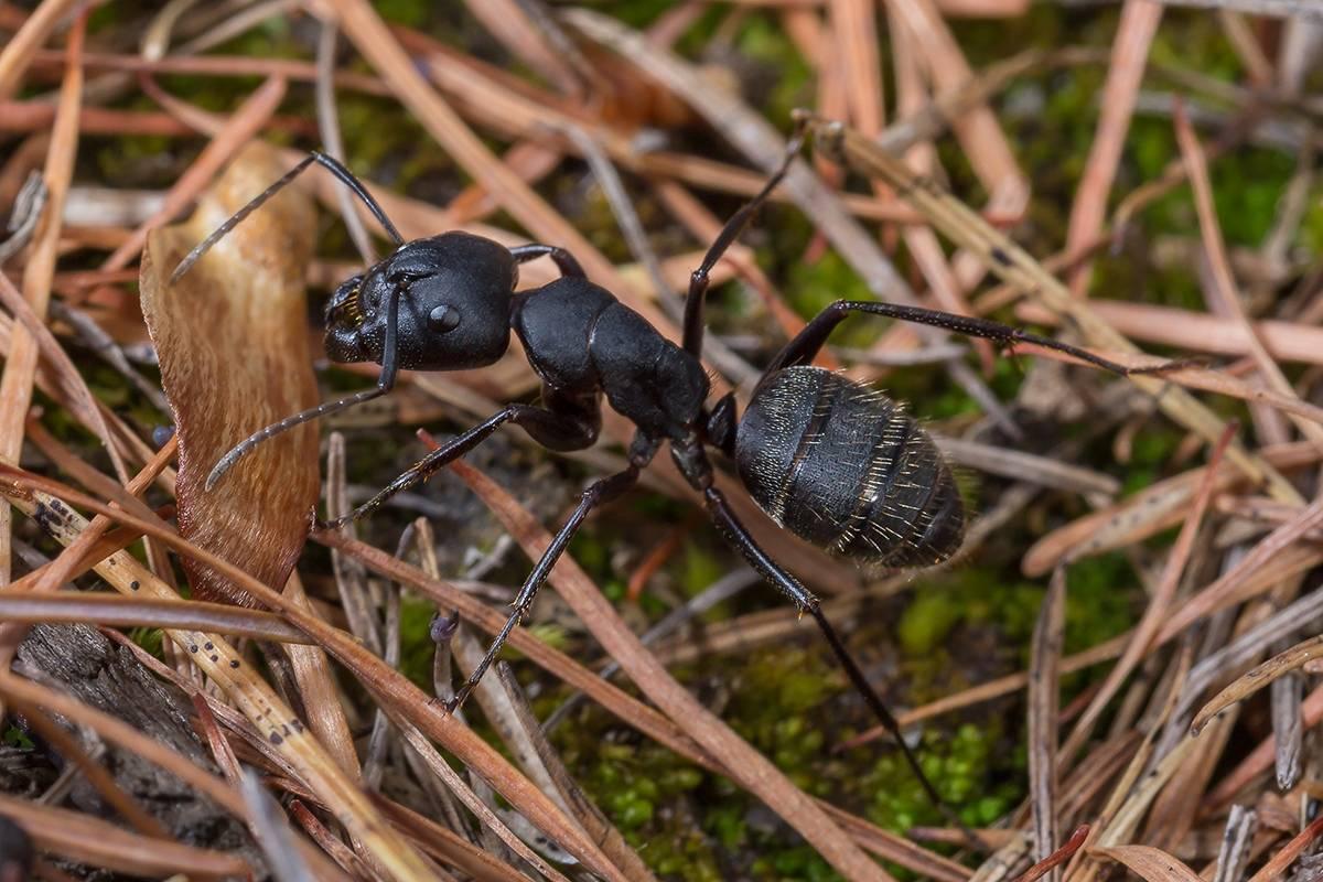 Черный муравей в доме: как избавиться от больших и маленьких муравьёв