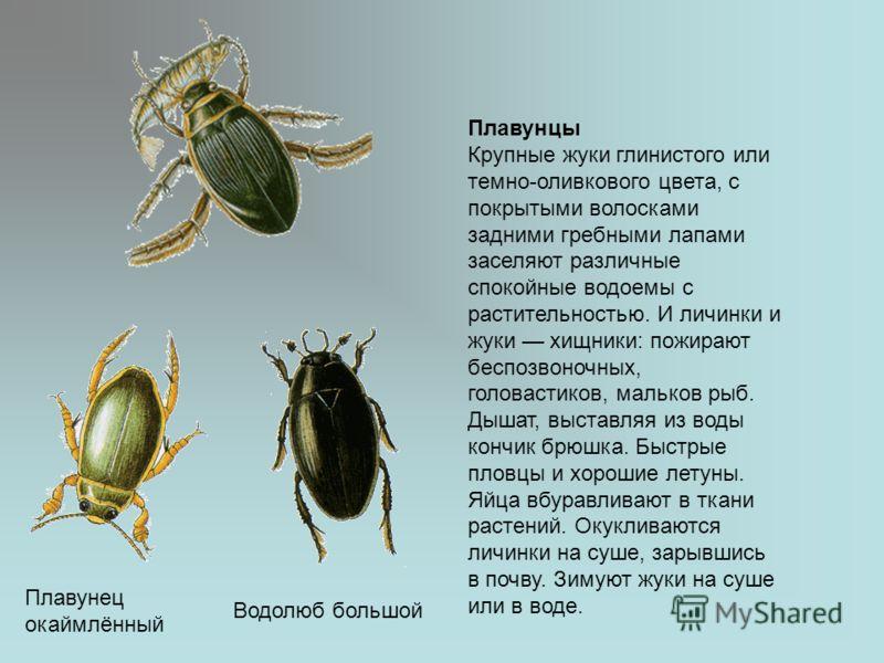Жук-плавунец условия содержания - oozoo.ru