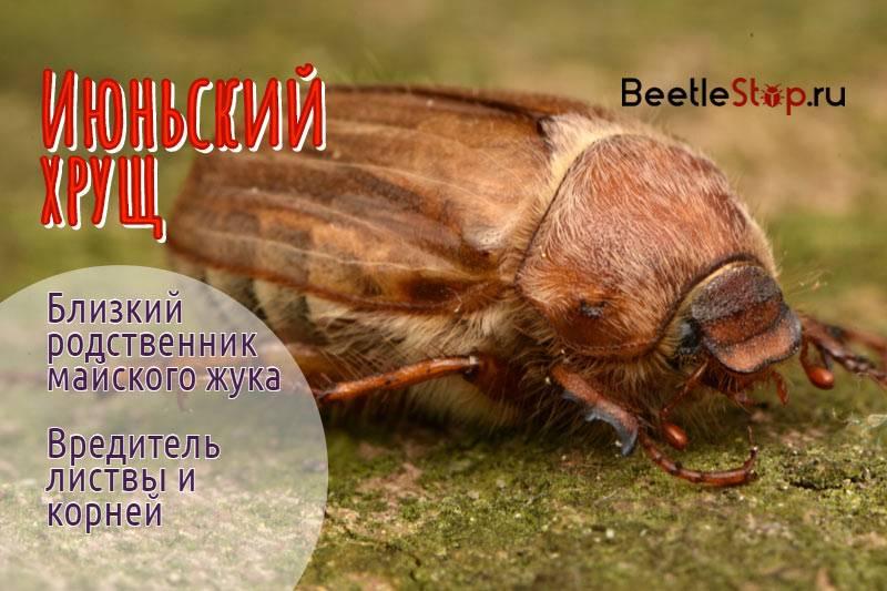 Июньский жук – фото и описание насекомого