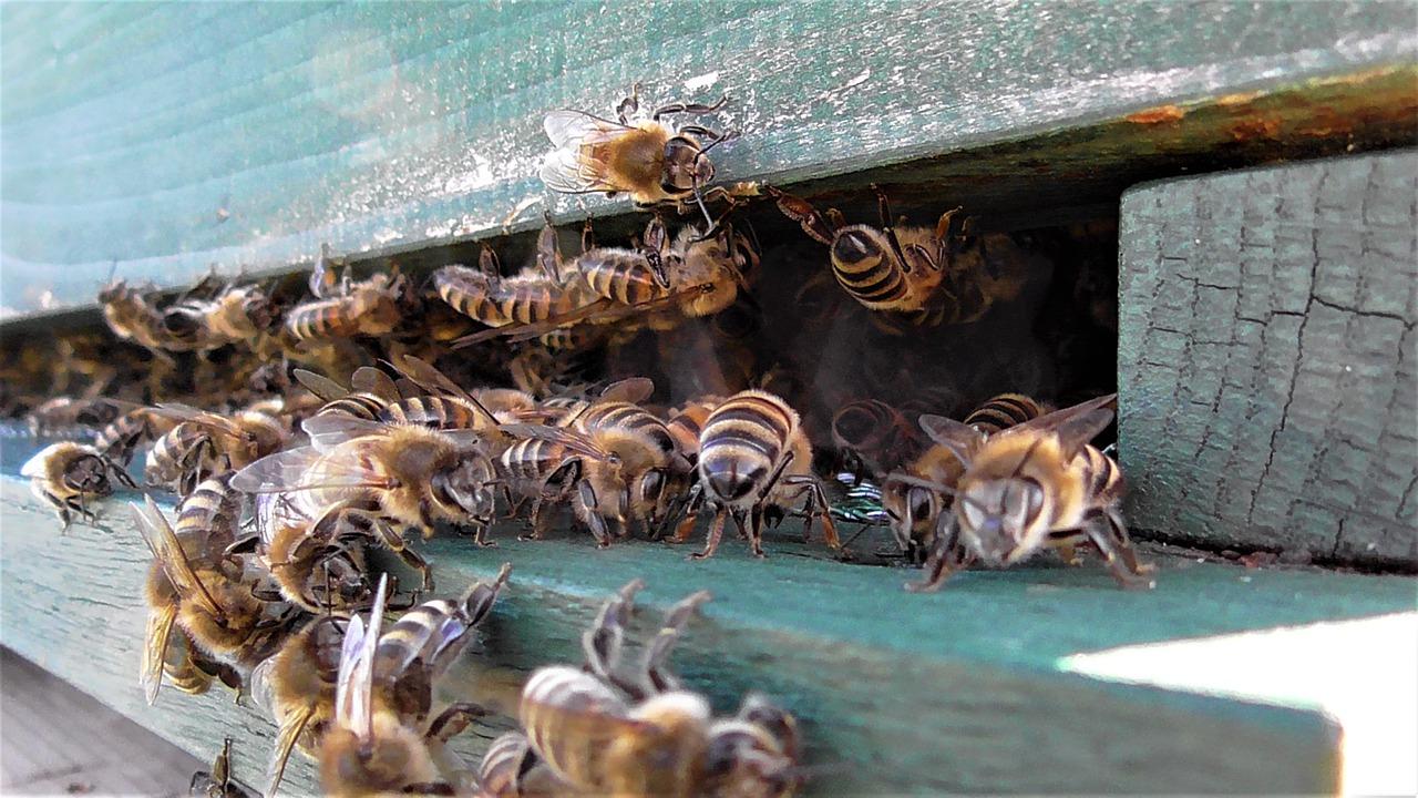 Почему пчела умирает после того как ужалит человека, сколько живет после укуса