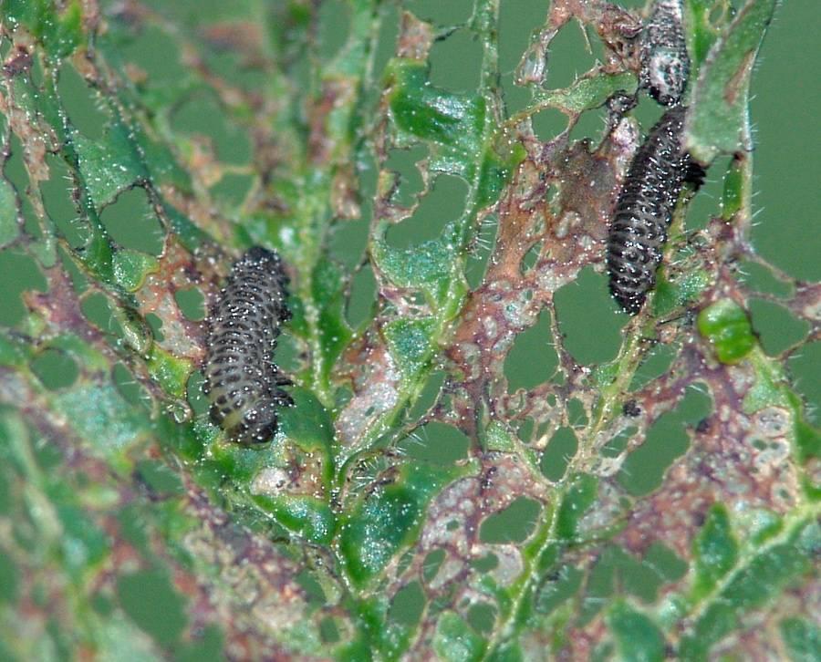 Болезни листьев хрена: виды и способы борьбы, методы профилактики