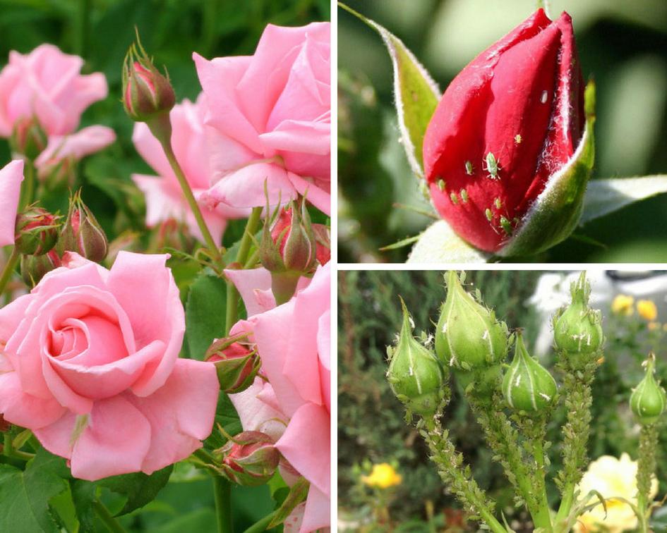 Как избавиться от тли на розах: обработка народными средствами и химией