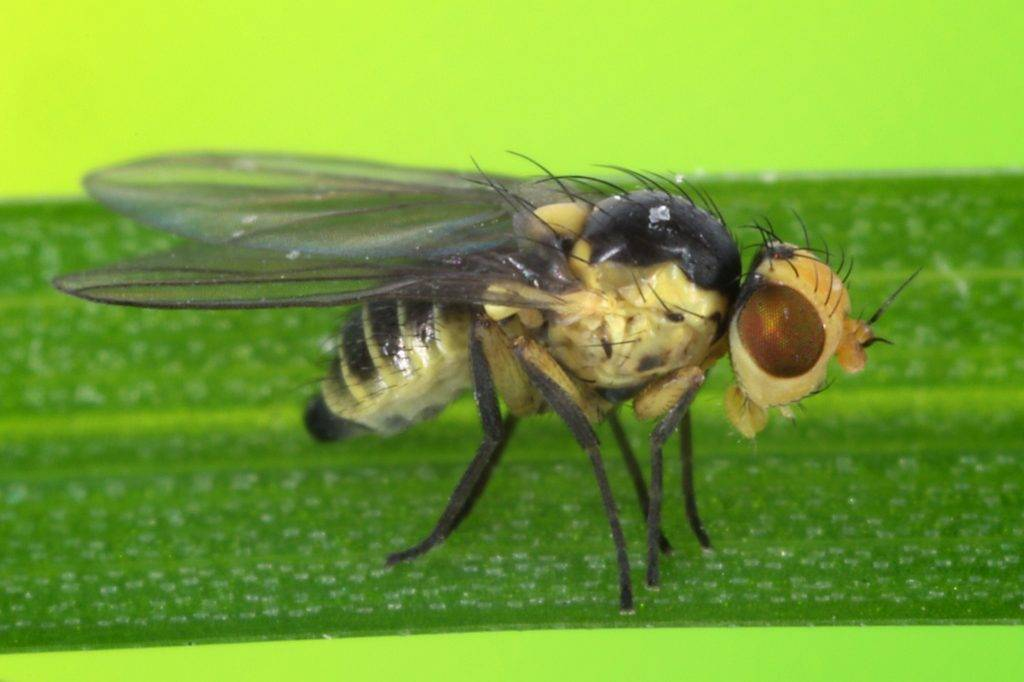Как бороться с капустной мухой и ее личинками