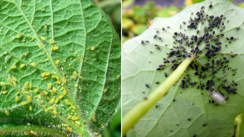 Как победить тлю на щавеле? чем обработать растения и как избавиться от вредителя?