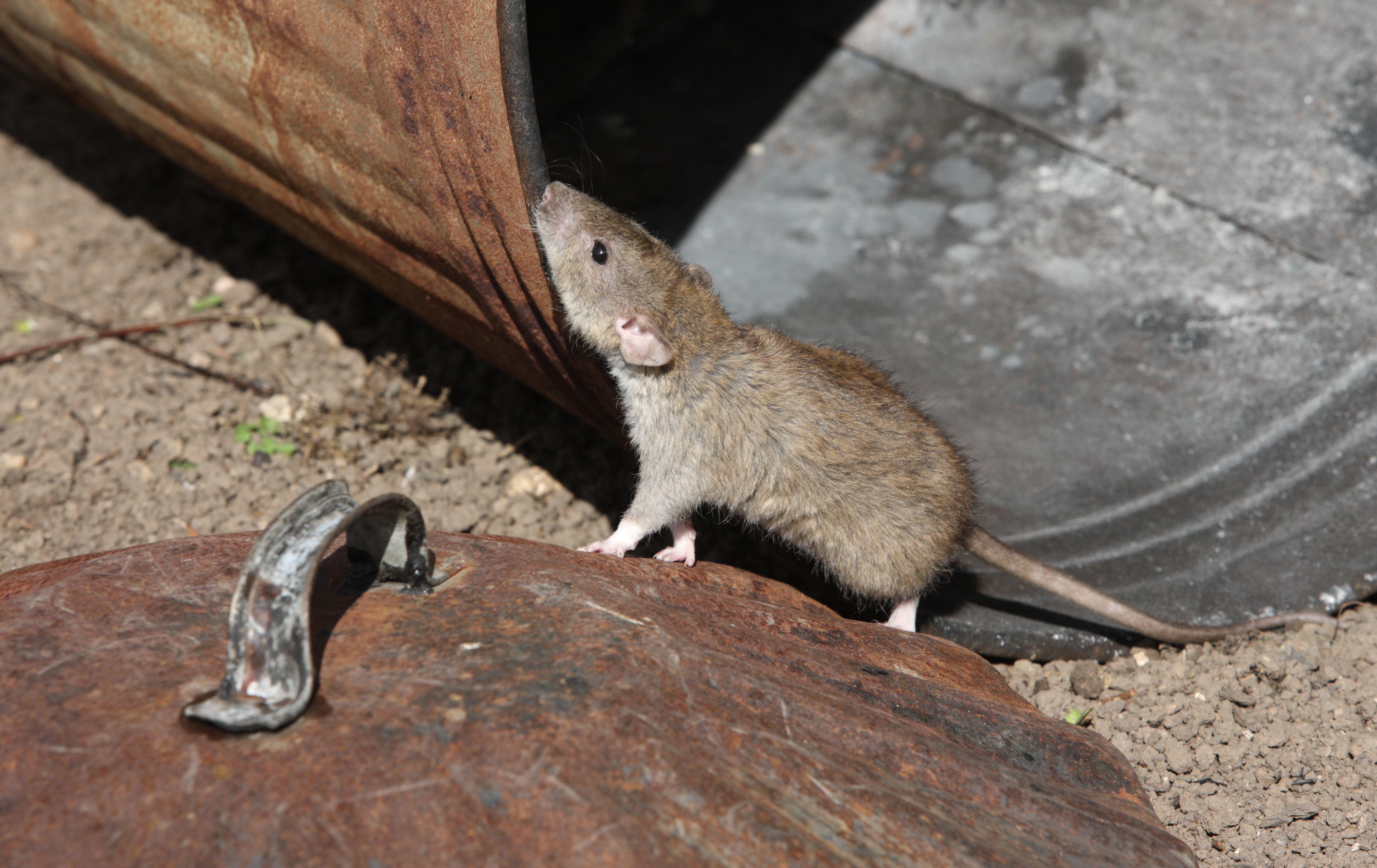 Самые крупные крысы в мире