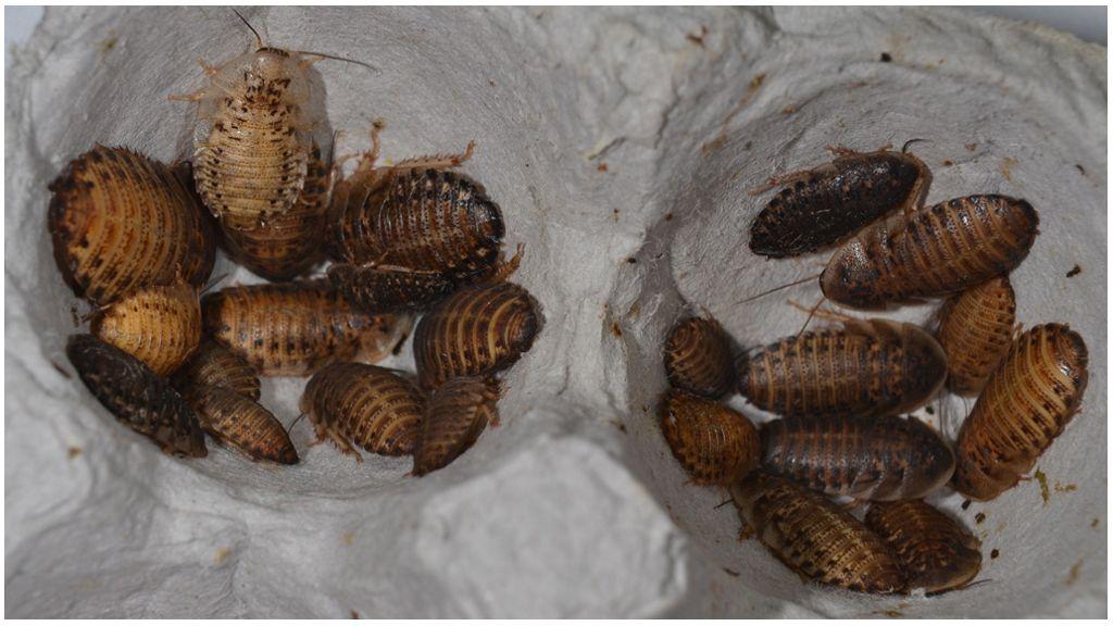 Количество вылупившихся тараканов из одного яйца