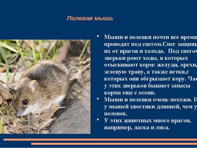 Мышь полёвка: как избавиться на участке, способы борьбы
