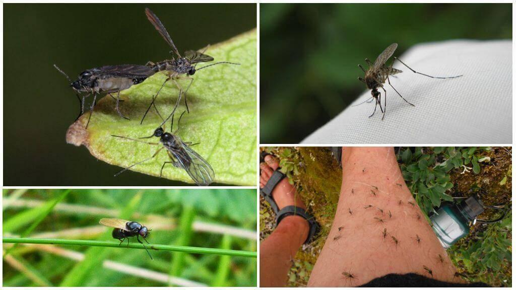 Сколько по времени живут мошки в квартире: длительность жизни насекомого
