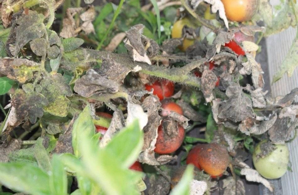 3 меры борьбы с клопами на помидорах: народные средства и химические