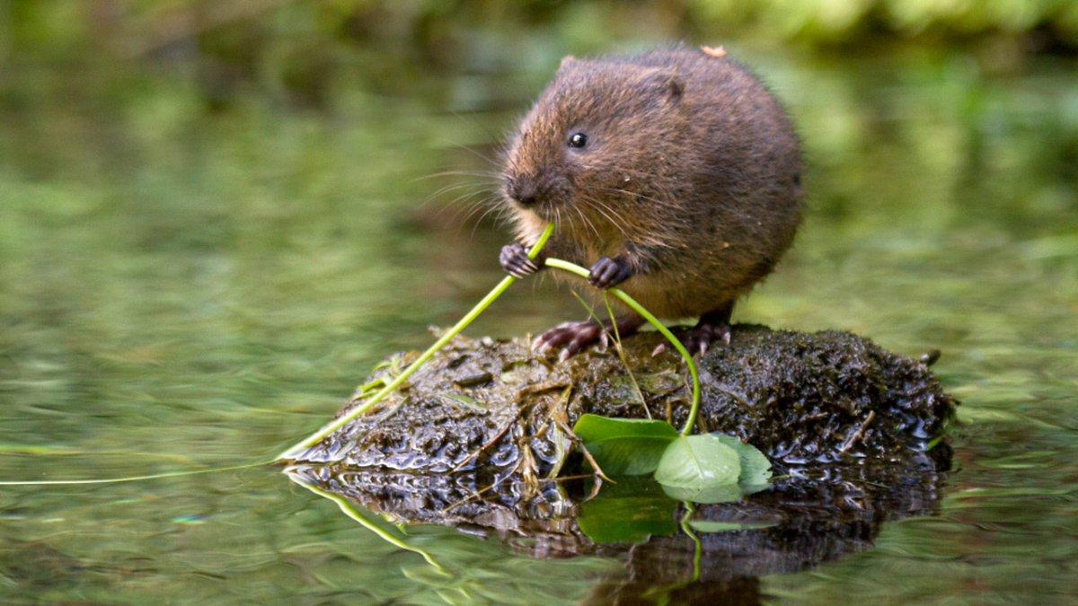 Как бороться с водяной и полевой крысой?