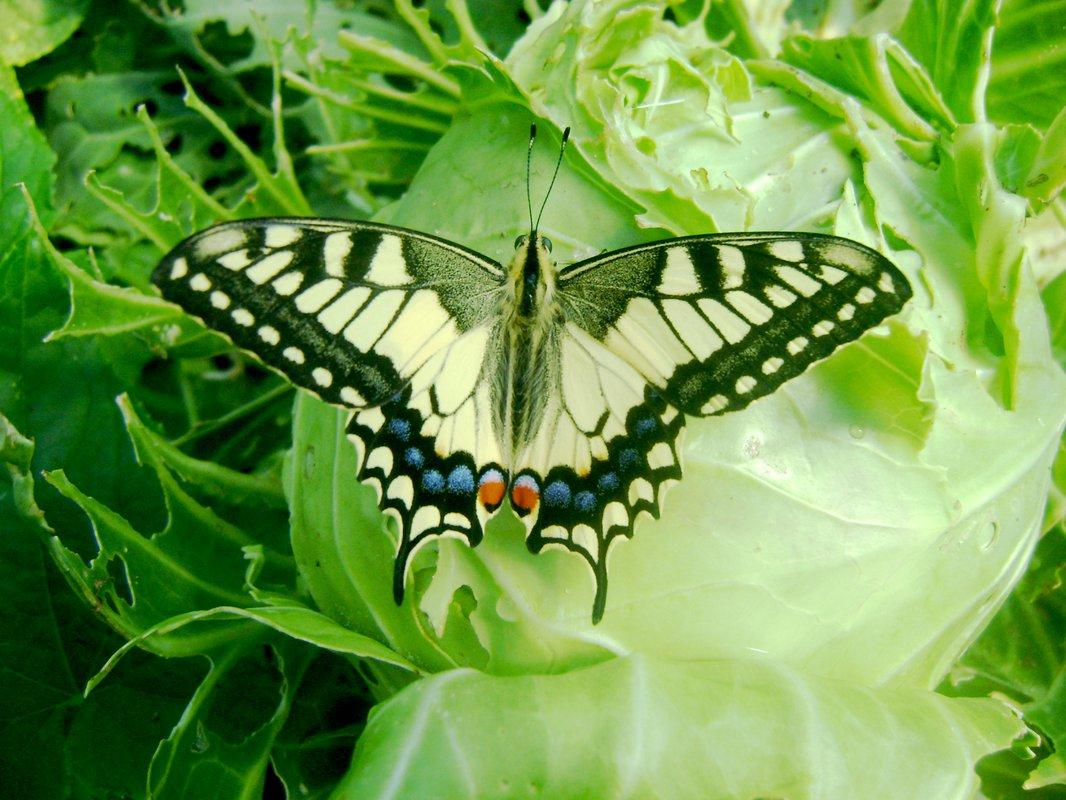 Бабочка махаон: описание, интересные факты для детей. что любят бабочки махаон в домашних условиях, сколько живут? какого цвета бывают бабочки махаоны: фото