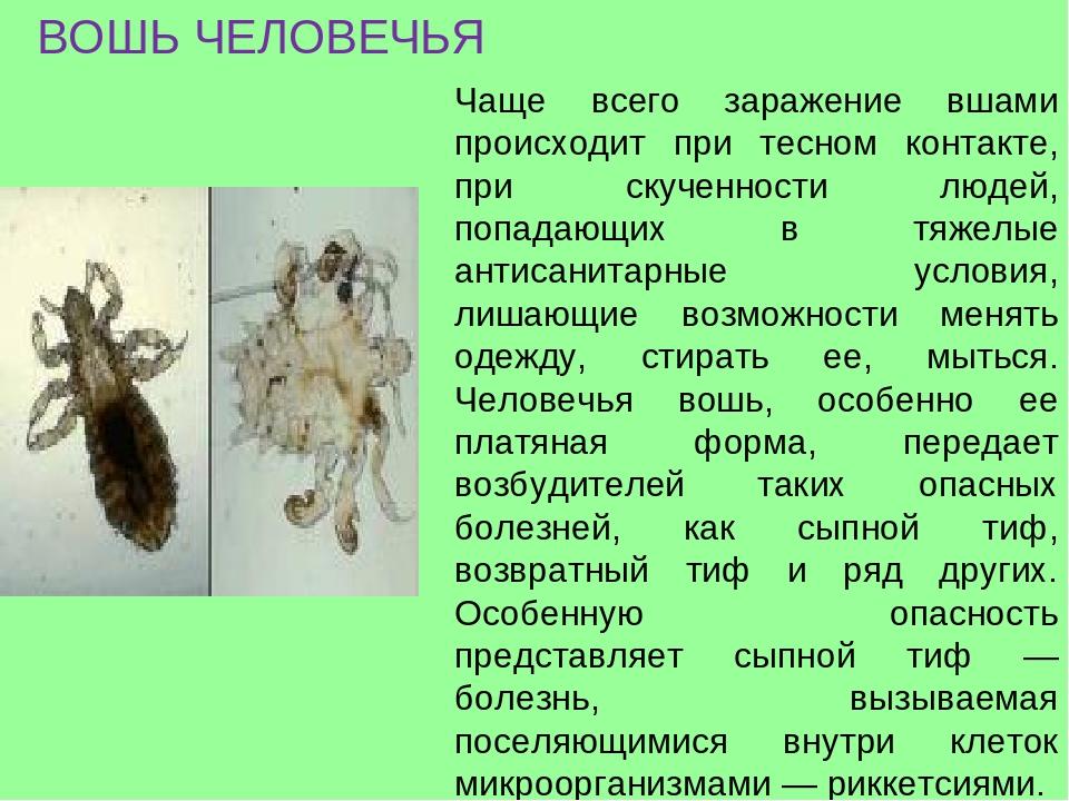 Как выглядят вши и гниды у человека на голове - фото и способы избавления