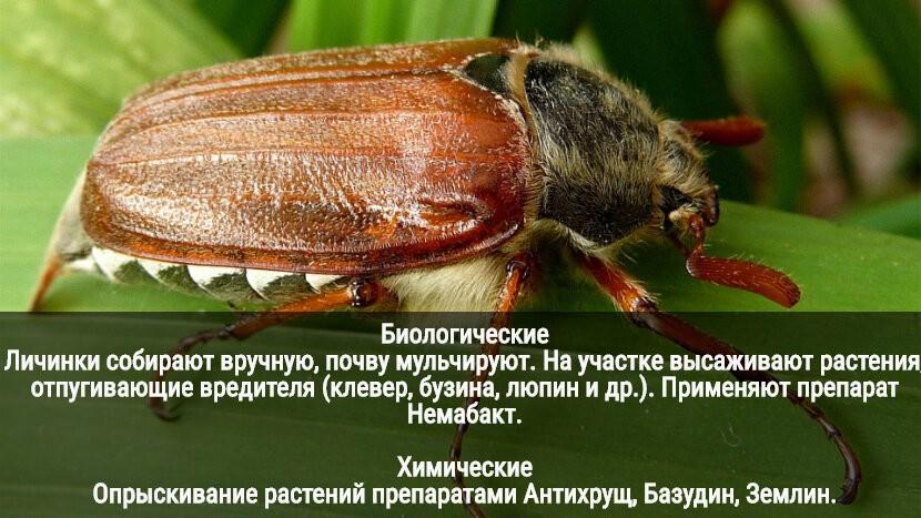 К чему снятся жуки: живые, много, большой жук во сне.