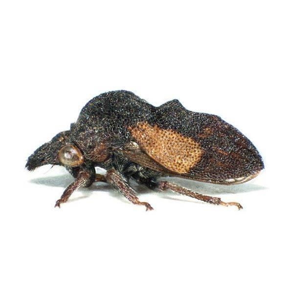 Черная многоножка – неприхотливый житель лесов, полей и аквариумов