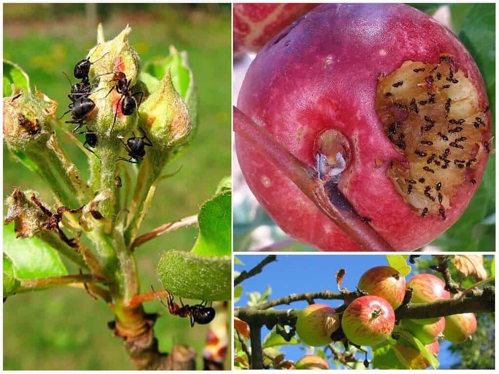 Борьба с тлёй в огороде и на садовом участке: как избавиться, самые эффективные средства