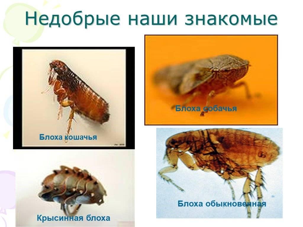 Размножение блох и их фото