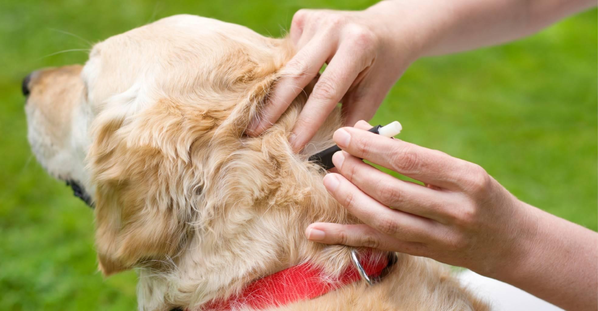 Средство от клещей для собак: капли, спреи и таблетки, народные рецепты для обработки