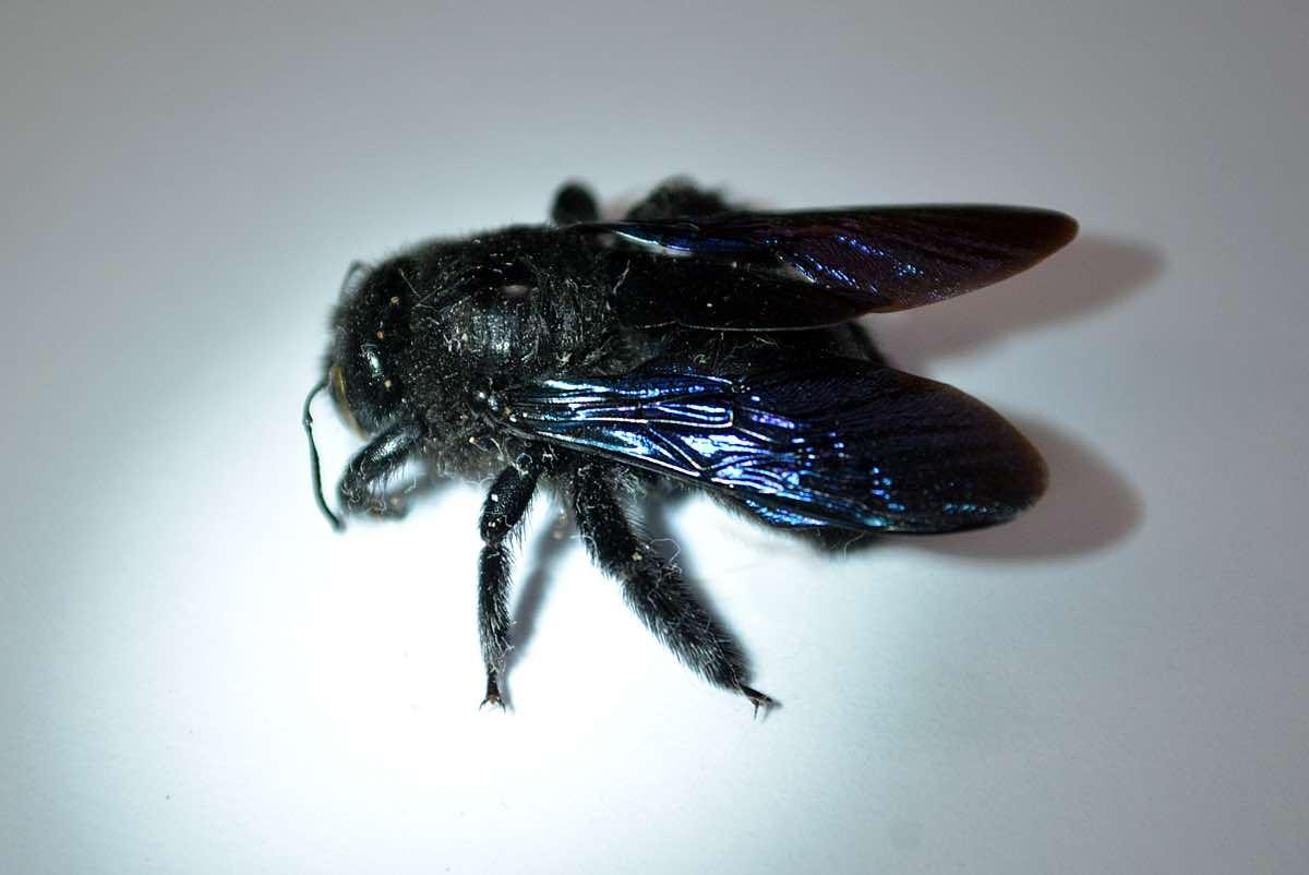Пчела-плотник фиолетовая