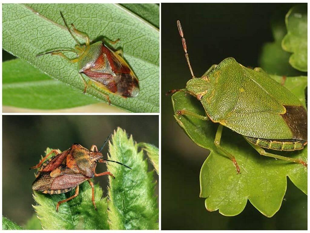 Зелёный клоп вонючка или лесной клоп, как бороться с ним в огороде