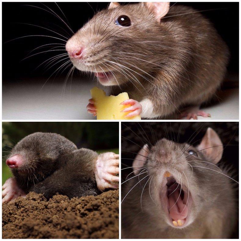 Крыса и мышь: внешние отличия, различия в поведении и интеллекте