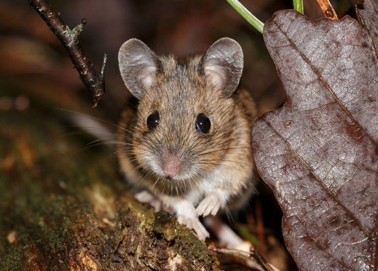 Мышь соня - все о грызуне в домашних условиях и дикой природе