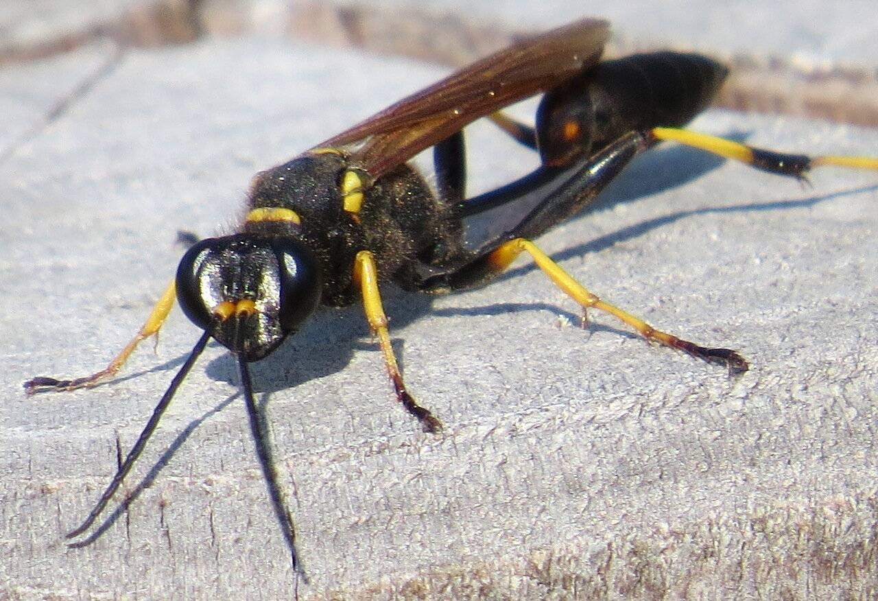 Разновидности удивительных насекомых ос