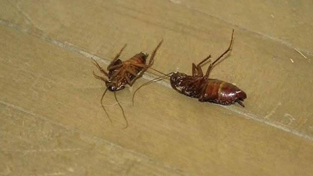 Причины исчезновения тараканов из жилища человека