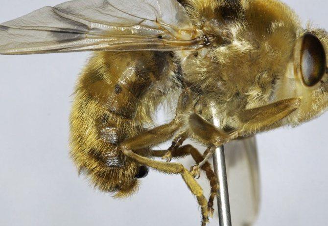 Овод: фото насекомого, чем опасна укус овода для человека