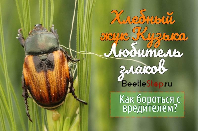 Как выглядит герой кроссвордов – хлебный жук кузька. хлебный жук – вредитель кузька! вред от жука